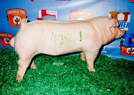 Champion-Chester-Boar-2015-SWTC---sired-by-Si---bred-by-Us