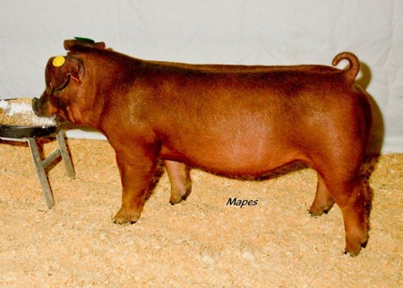 Champion-Duroc-Male---2015-CPS-Extravaganza---Sired-by-Black-Jack---Bred-by-Litmans