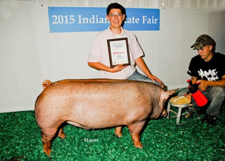 Champion-Tamworth-Barrow---2015-IN-State-Fair---Record-Breaker-2