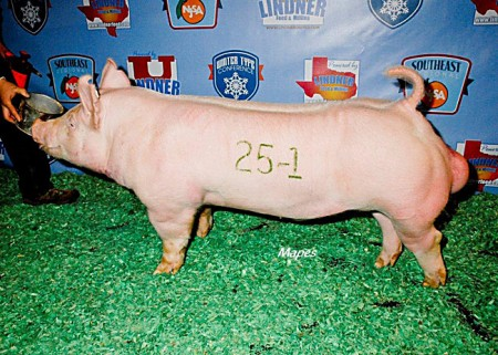 Class-Winning-Yorkshire-Boar---2015-WTC---sired-by-Takin'-Names---bred-by-us