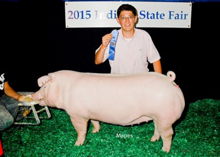 Class-Winning-gilt---2015-IN-State-Fair---Ice-Breaker---Tate---bred-by-Speers---CAS
