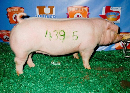 Reserve-Champion-2015-SWTC---sired-by-Si---bred-by-us