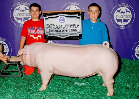 Reserve-Champion-Chester---2015-MLE---sired-by-Si---Denim-Pullen---bred-by-Us---purchased-from-Online-Sale-2
