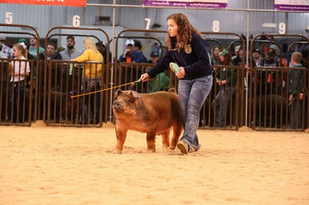 Reserve-Champion-Duroc-Barrow-2015-OYE-Showing