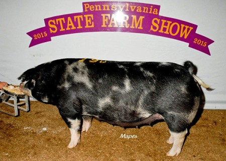 Reserve Champion Spot Gilt