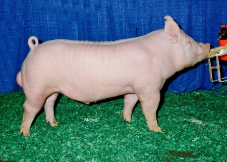 Reserve Champion Yorkshire Boar