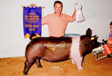 Champion bred and Owned Hamp Gilt