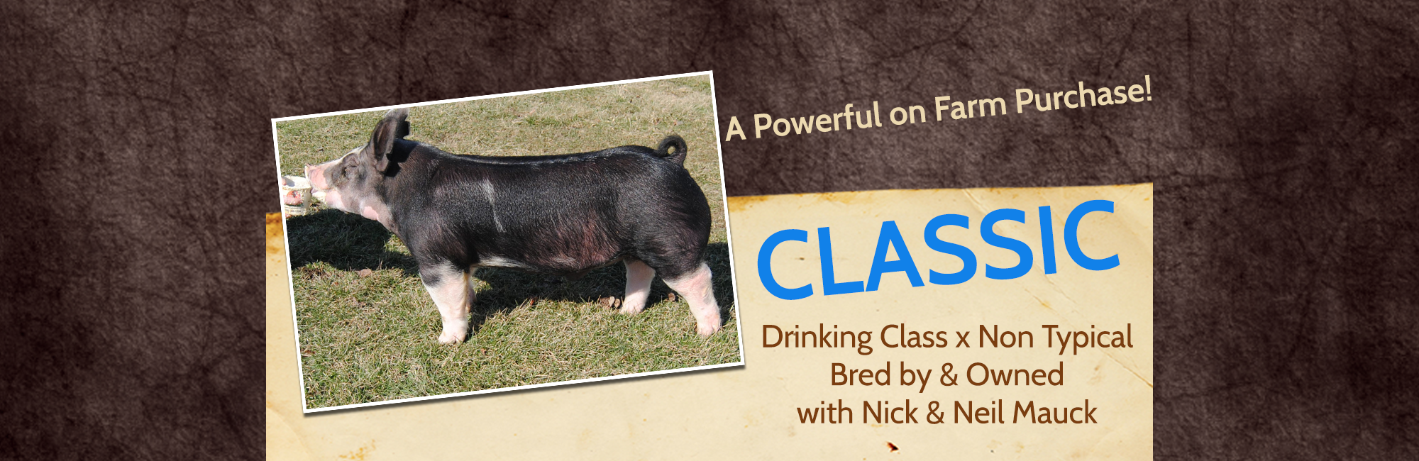 featured boar Classic