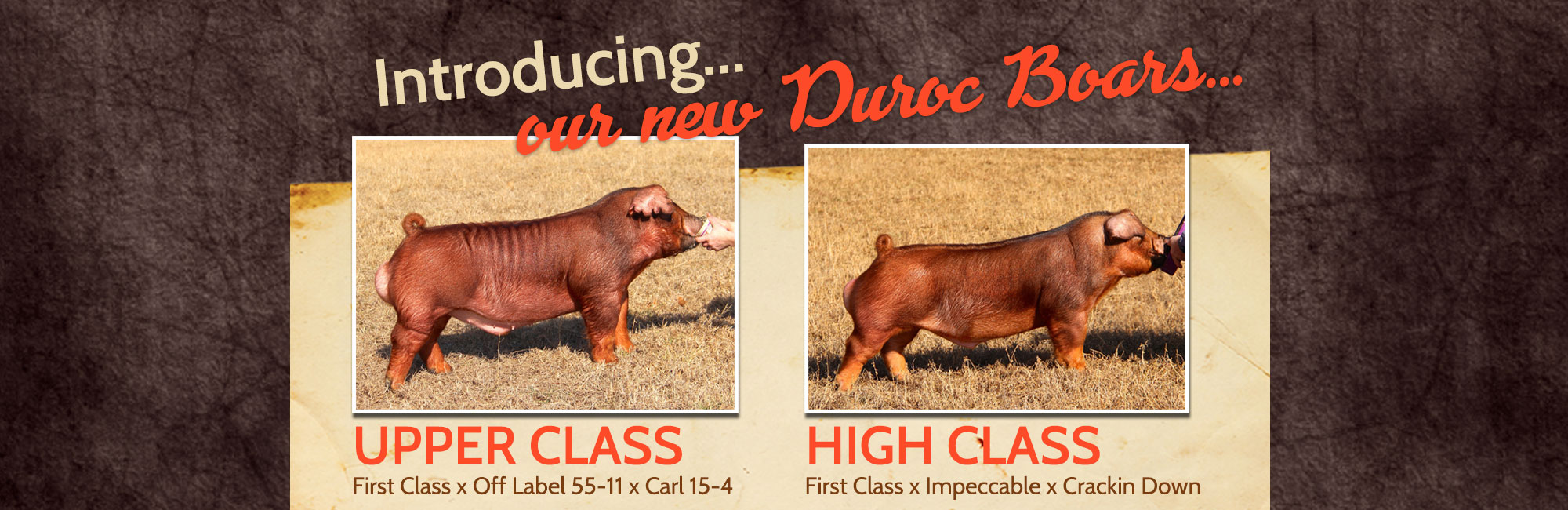 Introducing our new Duroc Boars