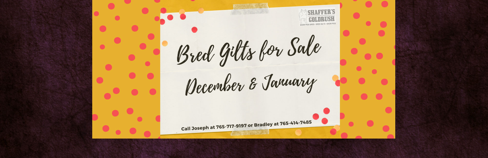 December & January Bred Gilts for Sale